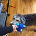 Sprocket- Bellwood Therapy Dog