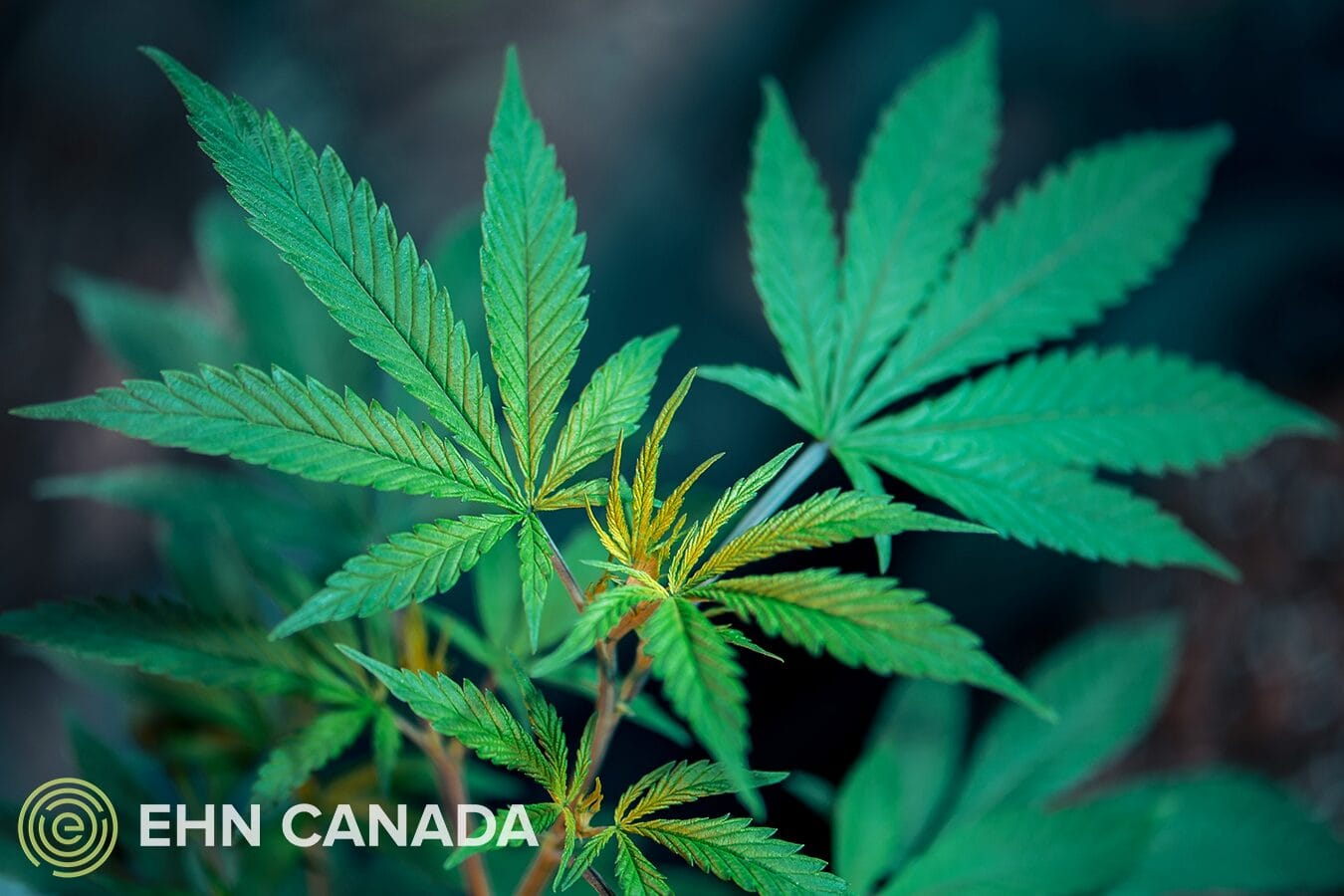 Harms of Cannabis - Drug Addiction Treatment Centers in Canada
